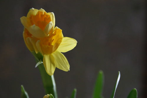 baby narcissus