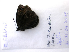 Erebia lefebvrei