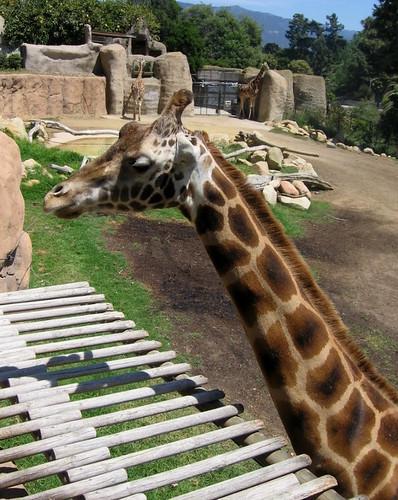 Feeding Giraffes Santa Barbara Zoo