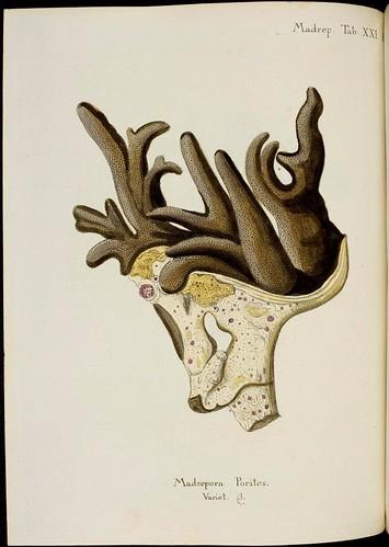 Madrepora porites (Esper coral book)