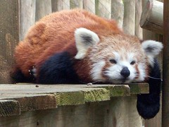 Red Panda (Abi Skipp) Tags: red zoo panda colcheester