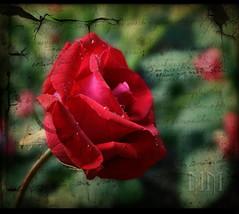 2MM's (Martha MGR) Tags: red flower textura rose rouge flor rosa vernissage animais rosso 1000views 2mms flôres mmgr mywinners excellentsflowers marthamgr m®©ãǿ►ðȅtǭǹȁðǿr◄© reservaespecial 4m´sphotographicdream 3msroyalflowers 2m´sroyalstation marthamariagrabnerraymundo marthamgraymundo