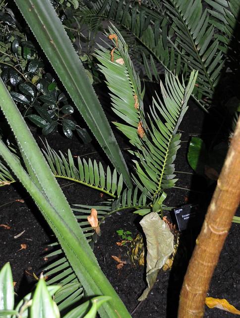 encephalartos dolomiticus1