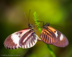 Butterfly Love In the A.M. (Michael Pancier Photography) Tags: flowers flower macro closeup butterfly bravo florida butterflies insects bugs orton seor browardcounty butterflyworld naturesfinest butterflysex tradewindspark touristlocations floridaphotographer michaelpancier michaelpancierphotography sigma150mm28macro impressedbeauty browardcountyflorida canoneos5dmarkii natureselegantshots ctvb thesebugsknowhowtoparty thesewingedbugslistentomarvingaye ichlovesthispicture whatafundaythatwas thesebutterfliesliketogetiton betterthanthepicofthespideripostedlasttimehuh wwwmichaelpancierphotographycom seorcohiba