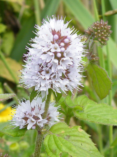 flowers watermint medicinalplants menthaaquatica stleonardsonsea pebsham bexhillwild