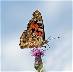 Painted Lady on The top ......... (betuwefotograaf) Tags: holland netherlands butterfly explore vlinder paintedlady gelderland distelvlinder betuwe betuwefotograaf wwwbetuwefotoeu