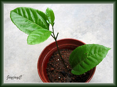 Successful propagation of a purple Passiflora vine from stem cutting, shot August 29 2009