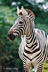 Zebra (Leffson Photography) Tags: nature zoo wildlife zebra pittsburghzoo canon70200mmf28l allrightsreserved mywinners canonxti marleneleffson leffsonphotography marleneleffson allrightsreservedmarleneleffson