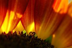 un piccolo cuore nel cuore di un girasole.... (texaskim81 **busy**) Tags: light red summer macro yellow nikon colours estate heart natura agosto giallo sunflower rosso colori cuore 2009 girasole luce 105mm d80