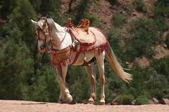 Valle de l'Ourika, Maroc (acalyon) Tags: horse nature canon cheval morocco maroc ourika kartpostal