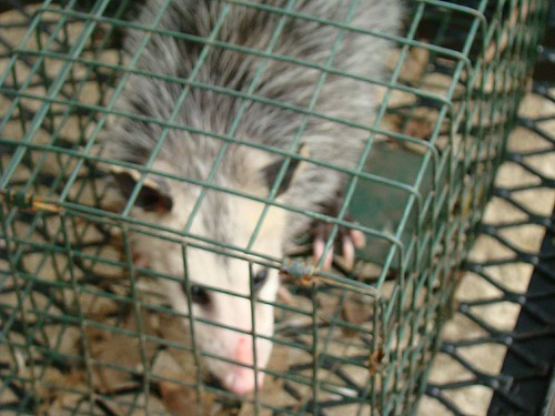 9-16-09 Opossum