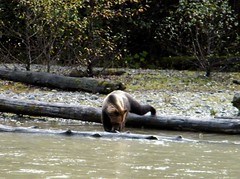 Grizzly Bear with fancy footwork