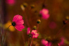 (.sxf) Tags: pink flowers macro nature fleurs bokeh natur rosa windy blumen windig