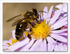 Astra kovinat - Bee is busy  [Aster dumosus] (fesoj) Tags: flowers flower detail nature yellow garden geotagged violet bee 1001nights brava honeybee astra aster greatphoto naturesfinest asterdumosus flowerandinsect anawesomeshot flickrdiamond platinumheartaward flowersinsect geo:lat=49581471 geo:lon=18338612