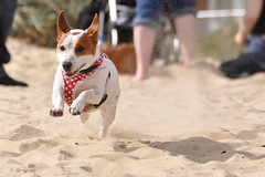 Sun & Sand (Explored!) (JRT ) Tags: family red dog sun holiday hot beach fur jack eyes sand nikon jrt russell sunny ears running terrier dorset belle paws harness jackrussellterrier pushchair millisecond d90 thegalaxy topseven brownhead johnwarwood flickrjrt