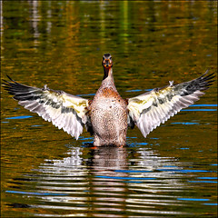 ~ This Big... ~ (ViaMoi) Tags: canada reflection bird photo duck wings pond action ottawa feathers freeze waterfowl flap thisbig viamoi