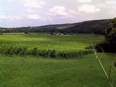 Denbies Wine Estate (Aug 8) 3 (Cybermyth13) Tags: uk summer england lines landscape vineyard vines surrey rows dorking wineestate molevalley denbies denbieswineestate