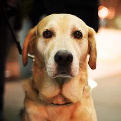 [フリー画像] [動物写真] [哺乳類] [イヌ科] [犬/イヌ] [ラブラドール・レトリバー]      [フリー素材]