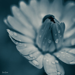 small good thing ([Adam Baker]) Tags: blue autumn light flower macro fall water canon dark bloom droplet monday adambaker 100mm28macro 5dmarkii