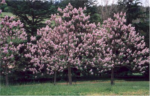 Paulownia (Princess Tree) Very Invasive. Do NOT Plant