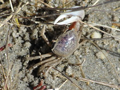 Displaying with his claw (capecodartandnature) Tags: beach capecod small sealife lowtide seashore tidal oceanlife fiddlercrabs springritual graybrown displaybehavior crabcolony courtshipbehavior