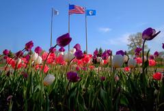 Flags n Tulips