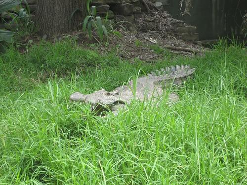 croc in grass el zoo
