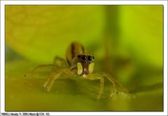 IMG_0286 (yimING_) Tags: macro nature singapore bugs jumpingspider choachukang canonmpe65 5dmk2
