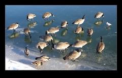 Meuse river's geese (macadam_desmo (Bernard M)) Tags: winter ice dave belgium pentax south hiver maas glace meuse namur wallonie wépion k10d janvier09