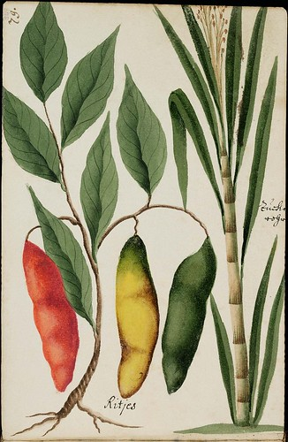 red, yellow & green chilli pods & bamboo plant