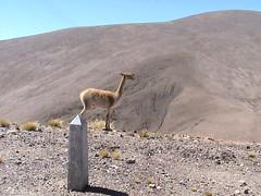 Vicuna (lama), Argentinië