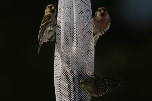 Common Redpolls & Pine Siskin