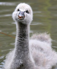 """Can I have some more?"" (niknok2007...) Tags: cute bird nature water washington swan searchthebest cygnet blackswan wwt bestofthebest blueribbonwinner ar1 bej golddragon anawesomeshot onephotoweeklycontest goldstaraward goldenheartaward ubej alittlebeauty"