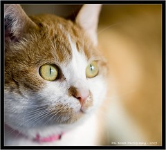 Chat / Cat -13 csw ( Phi Bokeh  dood) Tags: pictures animal animals cat photography chat photographie phi bokeh yeux animaux bruno blanc addict roux luscher photographe auteur phib brunol auteurphotographe brunoluscher addictpictures phibokeh wwwaddictpicturesfr