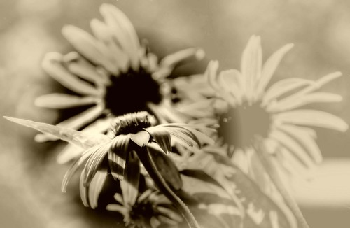 Coneflowers—in sepia