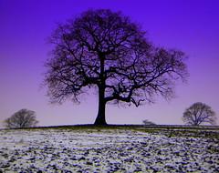 standing tall (perseverando) Tags: winter snow tree silhouette alone purple lancashire rivington bolton tall naturesfinest amazingshot mywinners abigfave platinumphoto aplusphoto amazingamateur perseverando visionqualitygroup