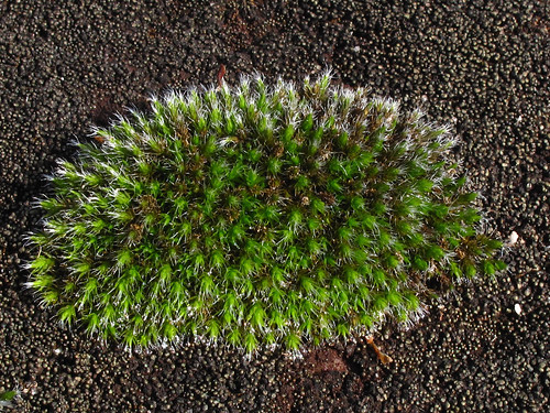 grimmia dry rock moss
