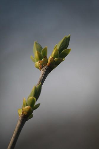 Lilac Bud