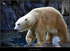 Polar Bear Express