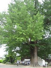 樹齢800年の大銀杏の巨木