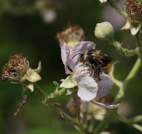 Bee polinating a wild rose
