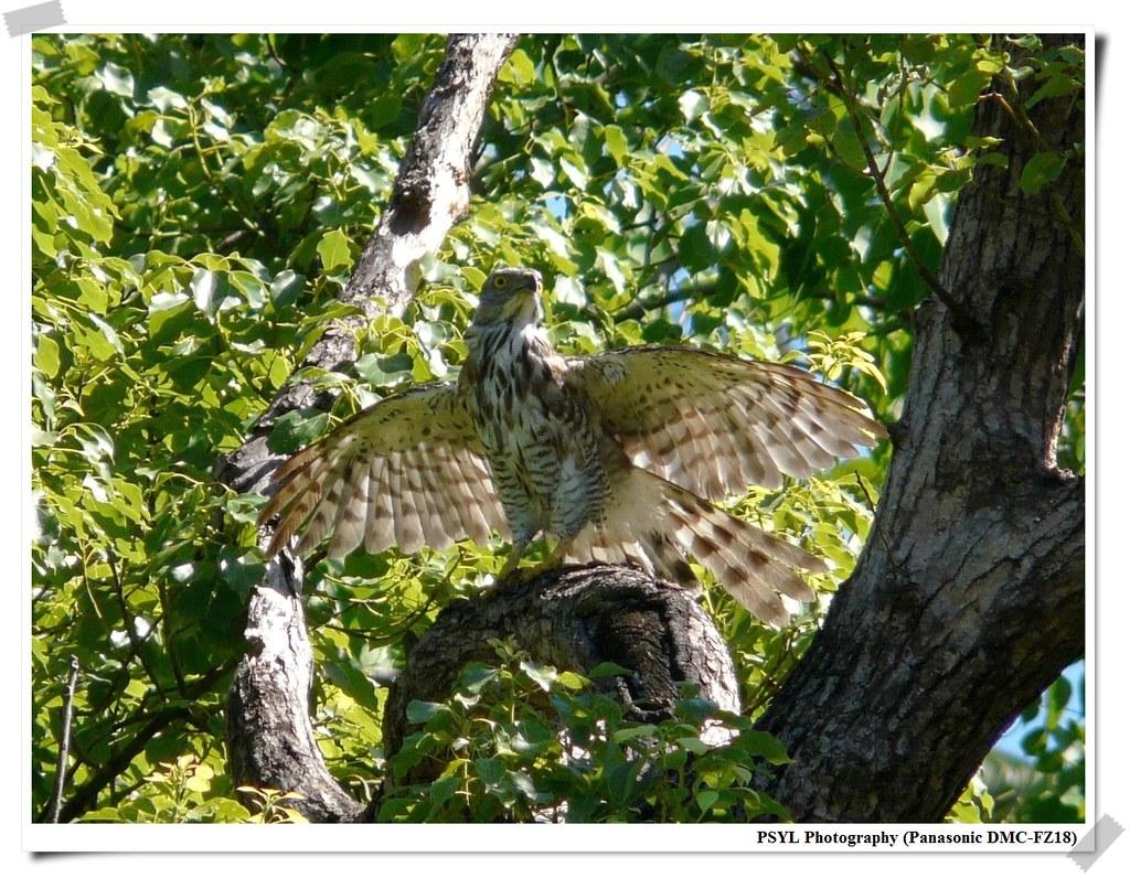 Crested Goshawk (Accipiter trivirgatus) - 鳳頭蒼鷹