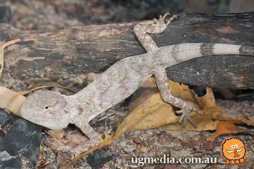 Chameleon dragon (Chelosania brunnea)