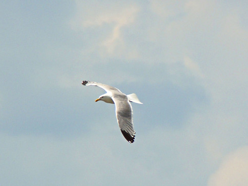 4th herring gull
