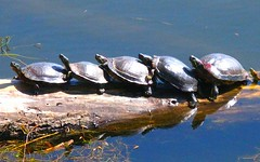 Traffic at the pond.. (David Fitzgerald3) Tags: nature water animals oregon pond hiking turtles wetlands eugeneoregon deltaponds artofimages bestcapturesaoi