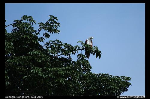 Brahminy Kite - habitat