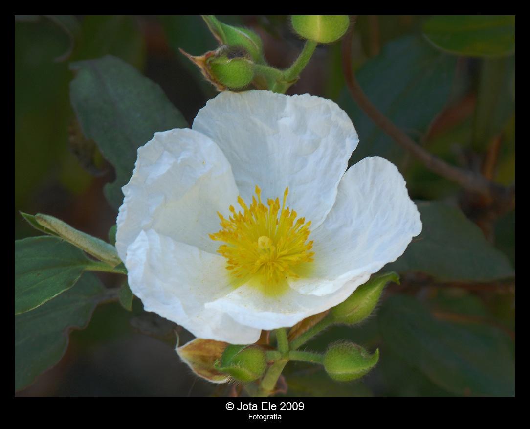 Flor de jara I