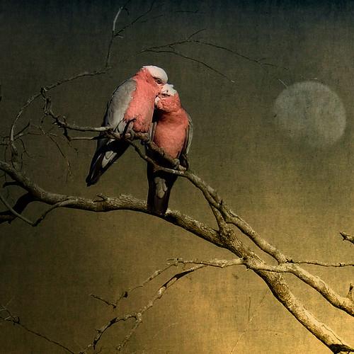 Lovebirds...