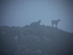 Ovejas en la niebla. (ya, ya sé, pero es lo que había) (Leandro MA) Tags: niebla cabras ovejas leandroma valdárán