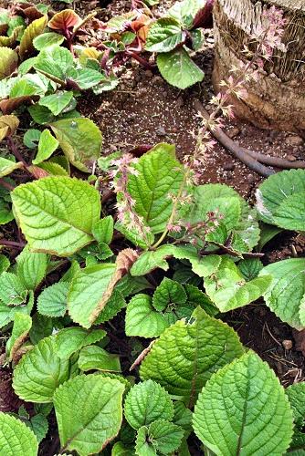 Plectranthus ciliatus (rq) - 02